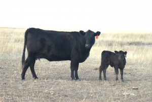 JAD PRIDE T17 with heifer calf by JAD LAD S6114