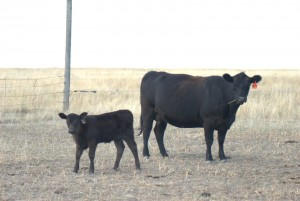JAD PRUDENCE T10 with heifer calf by JAD LAD S6114